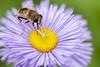 168-365  #nikonpassion365 (bebopeloula) Tags: nikonpassion365 photorobertcrosnier 2018 365 89 bourgogne europe faune france nikond700 tonnerre yonne animaux couleurs extérieur insecte invertébrés macro mouche