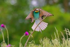 Gruccione _034 (Rolando CRINITI) Tags: gruccione uccelli uccello birds ornitologia santalbanostura natura