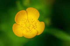 Yellow and Wild (pbandy) Tags: beach beverlybeach flowers plants spring wildflower oregon nature