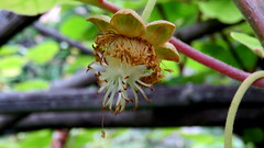 Fleur de kiwi (bernard.bonifassi) Tags: bb088 06 alpesmaritimes 2018 mai counteadenissa canonsx60 nice nissa gairaut fruit fleur kiwi macro