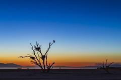 Bird In A Dead Tree During Twilight At The Salton Sea (slworking2) Tags: saltonsea playa desert california bird sunset sky lake birdsnests nests birds colorful gradient