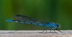 Damsel Fly 1st June (Gary Cantwell) Tags: perth scotland