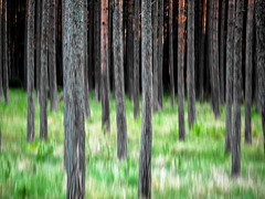 baltic forest (szélléva) Tags: lithuania forest abstract nature trees pine light baltic icm intentionalcameramovement