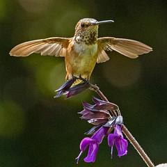 Winging It (coqrico) Tags: bird hummingbird feather wing featherless combat vet flower blossom bloom loss flight california rico leffanta