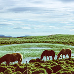 Icelandic Horse by the Pond thumbnail