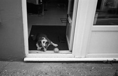 The Boss (DanRSmith) Tags: olympus xa2 zuiko 35mm streetcandy400atm bulldog