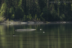 "Common Loons • <a style=""font-size:0.8em;"" href=""http://www.flickr.com/photos/63501323@N07/40734660900/"" target=""_blank"">View on Flickr</a>"