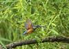 Food supply (Marc Haegeman Photography) Tags: ijsvogel kingfisher birds bird birdphotography nature natuurpunt vlaanderen flanders belgium marchaegemanphotography nikond850 animals vogels nikon tree green