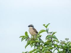P6020828 (turbok) Tags: neuntöterlaniuscollurio tiere vögel wildtiere c kurt krimberger