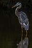 Big Blue Heron Explored thank you (Kevin Fox D500) Tags: blueheron heron bird birding birdwatching birds magmodwildlifekit sigms150600sport flash peacevalley pennsylvania wildlife water nature nikond500 nikon