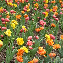 Lombard, IL, Lilacia Park, Red, Yellow and Orange Tulip Bed (Mary Warren 13.6+ Million Views) Tags: lombardil lilaciapark nature flora plants red yellow orange blooms blossoms flowers tulips