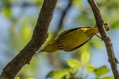 Reach for it (Fred Roe) Tags: nikond810 nikkorafs80400mmf4556ged nature wildlife warbler birds birding birdwatching birdwatcher yellowwarbler setophagapetechia mageemarshwildlifearea