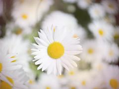 Crazy Daisies (Jam-Gloom) Tags: olympusomdem5 olympusomd olympus olympusuk omdem5 omd em5 bokeh bokehlicious bokehful summer flower floral flowers cctvlens cctvlenses cctv 35mm fujian fujian35mm fujian35mm17 daisy