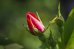 Rose Buds Enjoying The Sun (Modkuse) Tags: roses rose macro macrophotography macrolens macroflowers macroflower nikon nikondslr nikond700 dslr 105mmf28nikkormacro nikon105mmf28macronikkor