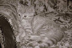 Good Old Memories (WilliamND4) Tags: goodoldmemories caturday kitten monochrome butterscotch tabby able cat nice picture