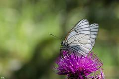 Schmetterling (roland_lehnhardt) Tags: canon eos60d ef100mmf28macrousm schmetterling butterfly tiere macro makroaufnahme grosaufnahme nahaufnahme bokeh animals insekten