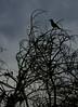 Ciluetas (photo du chaleins) Tags: nikon nikonista nikon3400 fotografia foto photography photo chile viñadelmar bridwatching bird pajaro ave cilueta outdoor