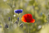 In the field.... (lique1304) Tags: 7dwf weeds flower poppy canon nature