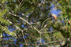 IMG_1015 (armadil) Tags: sanfranciscobotanicalgarden sfbotanicalgarden birdwalk bird birds hummingbird allenshummingbird sanfrancisco sanfranciscobotanicalgardens