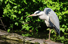Grey Heron. (Chris Kilpatrick) Tags: chris canon canon7dmk2 sigma sigma150mm600mm outdoor wildlife nature rembrandtpark amsterdam thenetherlands bird greyheron animal