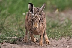 Brown hare (Lepus europaeus) Romney Marsh Kent (GrahamParryWildlife) Tags: kent dungeness romneymarsh kentwildlife grahamparrywildlife top graham parry animal outdoor sigma 150600 sport 150 600 canon 7d mkii depth field mk2 uk rspb viewing photo flickr new sunlight dof green sun light focus tiny wildlife red evening vulpes alert stare resting unusual dengemarsh grass brown hare lepus europaeus romney marsh run speed fast