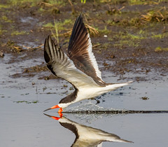 Low Altitude Flight (tresed47) Tags: 2018 201806jun 20180607bombayhookbirds birds blackskimmer bombayhook canon7d content delaware folder june peterscamera petersphotos places season spring takenby tern us ngc npc