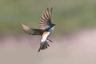 Swallow Take-off!