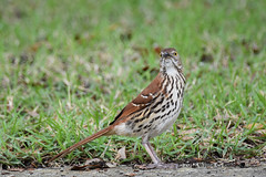 Brown Thrasher in Baldwin Park (wayne kennedy EDD) Tags: brownthrasher baldwinpark orlando