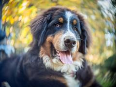 P1011509 (Sebastopol Dog Park) Tags: bernesemountaindog portrait spiralbokeh oldlens openaperture cmount puppy pet arlendean mft olympus forest dof dog