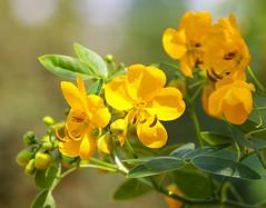 Yellow (LuckyMeyer) Tags: flower fleur green yellow summer garden sun plant blume blüte