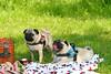 Pug Party (doggyvip) Tags: pug party