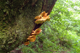 Laetiporus - Chicken of the Woods