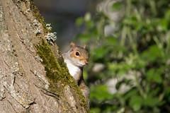 Eastern gray squirrel (Sciurus carolinensis) - Cullompton Leat Fields, Devon - 18 May 2018 (Dis da fi we) Tags: sciurus carolinensis eastern gray squirrel cullompton leat fields invasive species