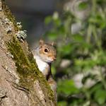 Eastern gray squirrel (Sciurus carolinensis) - Cullompton Leat Fields, Devon - 18 May 2018 thumbnail
