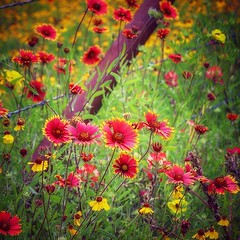 A few Texas spring wildflowers! (WWW.ROBERTBELLOMY.COM) Tags: pasture fence barbedwire redflowers bluebonnets springflowers spring indianpaintbrush wildflowers texas ifttt instagram