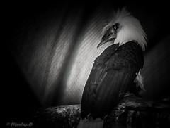 ๖ۣۜL'Augure / ๖ۣۜAugury (Pilouchy) Tags: laugure augure oiseau bird eyes regard monochrome blackandwhite animal noir plume lumiere bec wild life vie leger wind vent