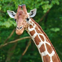EOS 6D Mark II_1108 (Dave Melling) Tags: somaligiraffe giraffacamelopardalisreticulata reticulatedgiraffe brno zoo