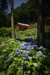 三室戸寺 - Mimuroto-ji - あじさい寺 (小川 Ogawasan) Tags: japan japon culture tradition ogawasan