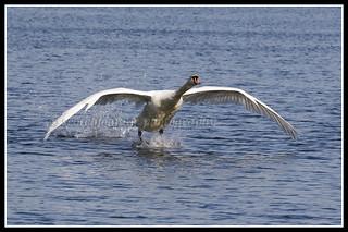 IMG_0026 Mute Swan