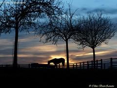 Fin de journée sur la Normandie (Céline Bizot-Zanatta Photographie) Tags: europe france normandie manche terre arbre clôture ciel contrejour nuages lumière extérieur soirée chevaux pommiers landscape paysage