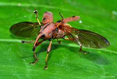 四紋象鼻蟲 Sphenocorynes ocellatus (Taiwan-Awei) Tags: taiwanawei awei 林敬偉 象鼻蟲 weevil 微距 macro 昆蟲 insect