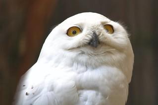 Schneeeule [] Snowy owl