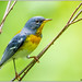 Northern Parula (adult male) -Explored- DSC_9806 (blindhogmike) Tags: