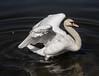 Cygnus olor (wpt1967) Tags: canon100300mm castroprauxel cygnusolor eos6d erinpark höckerschwan ruhrgebiet ruhrpott schwan schönheit teich vogel bird swan weiss white wpt1967