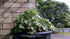 Cranesbill starting to flower on balcony 27th May 2018 (D@viD_2.011) Tags: cranesbill starting flower balcony 27th may 2018