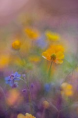 dreaming flowers (olli_loo) Tags: macrodreams dreaminglens helios40 helios herbal sovietlens softlens softbokeh softness softfocus softcolors manual manuallens manualfocus macro macroflowerlovers nature naturephoto wildflowers flowers flowermagic flowersandmacro flowersart tinylights tinyflowers bokeh bokehlicious 85mm dof meadowflower depthoffield colorpastel tenderness likepainting