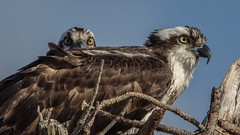 Dude…what the hell…called out by an Osprey! (flintframer) Tags: osprey breeding pair raptors seahawks birds nest florida ft pickens beach wow nature wildlife dattilo usa america canon eos 7d markii ef600mm 14x