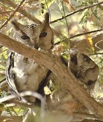 Mountain Scops owl (Snappy Lens) Tags: scopsowl allnatural fantastic nature fantasticnature birdofprey owls predator wild perch wildlife