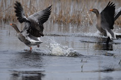 The chase is on! (JerryGoulet) Tags: feathers colours contemporary conservationism conservation contrast conservancy sigma150600 animals atmosphere angle aperture d500 food face flight foliage flying lowlight lights lakes water wildlife wild wilderness wings england exposure expression eyes goose duck rspbstrumpshawfen colors sigma birds nikon naturereserve nature natural highiso depthoffield animal excellence rspb reserve earlymorning telephoto unitedkingdom uk infinitexposure