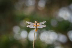 stained glass dragon (Emma Varley) Tags: dragonfly backlit light glass shine orange bokeh beauty perch broadbodiedchaser insect westsussex sullingtonwarren